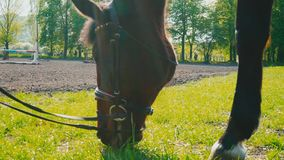 The brown horse in the bridle is eating the grass near the training area, the horse`s muzzle is close up. Chestnut horse grazing grass stock footage