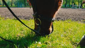 The brown horse in the bridle is eating the grass near the training area, the horse`s muzzle is close up. Chestnut horse grazing grass stock video