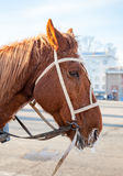 Brown horse with bridle and harness closeup Royalty Free Stock Photo