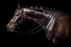 Brown horse with bridle Stock Photos