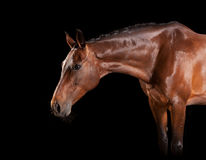 Brown horse with bridle Stock Photo