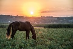 Brown horse. Grazing at sunset near the river Stock Photos
