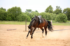 Brown horse bucking on longe line Stock Photo