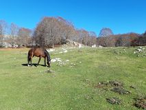 Brown horse in a bucolic landscape. With green meadows and a blue sky. This magnificent place is in Italy, near Rome. This place is called Campaegli stock photo