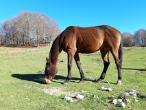 Brown horse in a bucolic landscape. With green meadows and a blue sky. This magnificent place is in Italy, near Rome. This place is called Campaegli stock photography