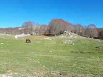 Brown horse in a bucolic landscape. With green meadows and a blue sky. This magnificent place is in Italy, near Rome. This place is called Campaegli royalty free stock images