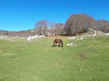 Brown horse in a bucolic landscape. With green meadows and a blue sky. This magnificent place is in Italy, near Rome. This place is called Campaegli royalty free stock photo