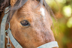 Brown Horse Close Up Royalty Free Stock Photo