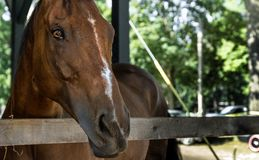 Brown Horse Close Up In A Stable Saratoga Springs, US Royalty Free Stock Photo