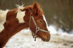 Brown horse. Stock Photos