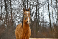 Brown horse. Stock Photography