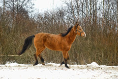 Brown horse. Stock Photos