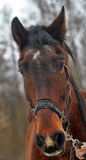 Brown horse. Royalty Free Stock Images