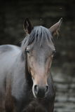Brown horse close up portrait. In a paddock near barn Stock Photos