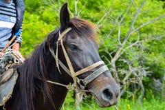 Brown horse, close up Royalty Free Stock Photos