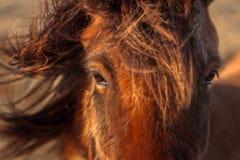 Brown horse closeup Stock Images
