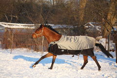 Brown horse in coat running Stock Image