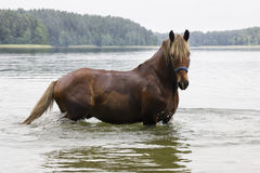 Brown Horse in cold lake Stock Images