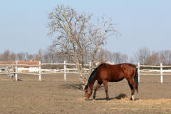 Brown horse in corral Stock Photography