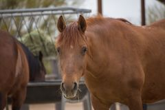 Brown Horse in Corral. Brown-colored adult horse standing in a corral near feeding station and other horse stock photography
