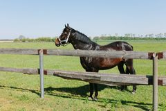 Brown horse in corral on farm. Domestic animal on field stock photo
