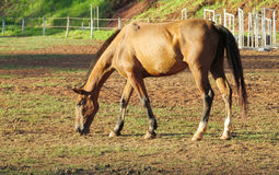 Brown horse in a corral on farm eating grass Stock Photo