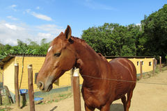 Brown horse in a corral on farm Stock Photography