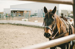 Brown Horse in Corral Royalty Free Stock Images