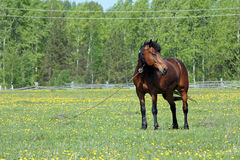 The brown horse costs(stands) adhered on a pasture Royalty Free Stock Image