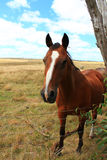 Brown horse in country field landscape Stock Photography