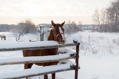 Brown horse in the country in winter time Stock Photo