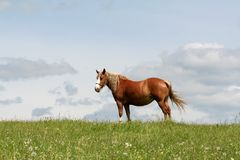 Brown horse in countryside Royalty Free Stock Image