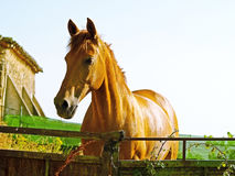 Brown horse on countryside Stock Photography