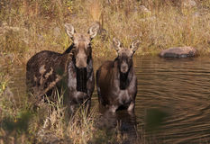 Cow moose and calf feeding in a pond in in Algonquin Park Royalty Free Stock Image