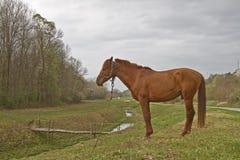 Brown Horse in Croatia Royalty Free Stock Image