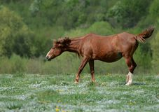 Brown horse is dancing on a green flowered meadow amid forests to escape from annoying flies royalty free stock photos