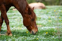 Brown horse is dancing on a green flowered meadow amid forests to escape from annoying flies. Brown horse is dancing on a green flowered meadow amid green stock photo