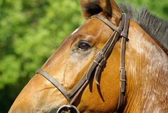 Brown Horse during Daytime Royalty Free Stock Photography