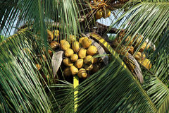 coconut tree Stock Photos