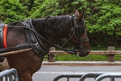 Brown horse drawing the carriage. Brown horse drawing a carriage of people in Central Park, NYC royalty free stock photography