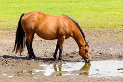 Brown horse drinking in muddy field Stock Photo