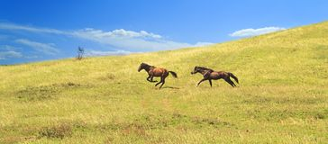 Brown horse drives and runs across the field after another individual proving his leadership qualities.  royalty free stock photography