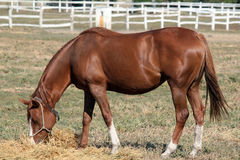 Brown horse eat Stock Images