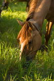 Brown horse eat fresh grass Royalty Free Stock Photo