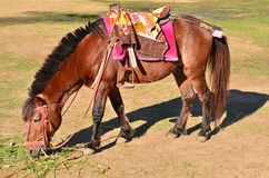 Brown horse eat grass Stock Photography