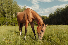 Brown horse eat grass in field Stock Photos