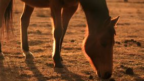 Brown horse eating backlit at sunset on a farm during drought close shot. Drought in Australia stock video