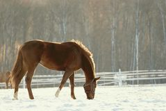 Brown horse eating in a field in winter Royalty Free Stock Images