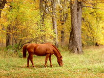 Brown horse eating in a forest. Photo taken in autumn Stock Photography