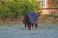 Brown horse eating frosty grass on a frosty winters morning Royalty Free Stock Images